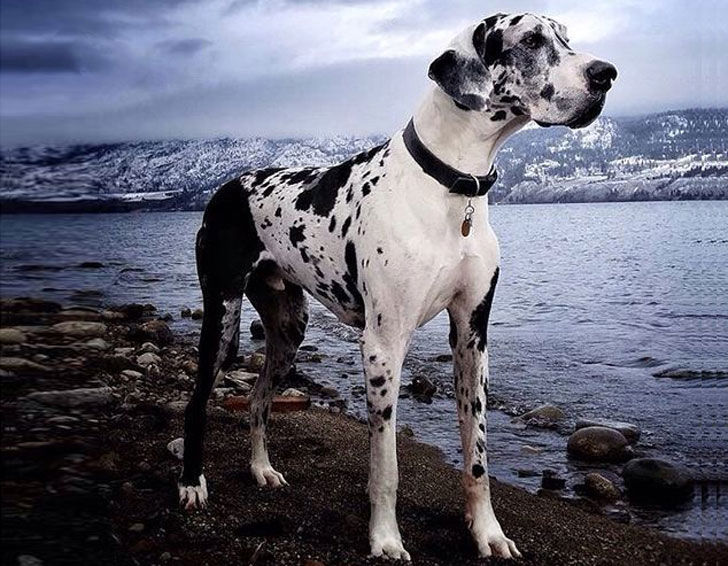 10-popular-but-dangerous-dog-breeds_1