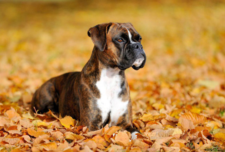 10-popular-but-dangerous-dog-breeds_7