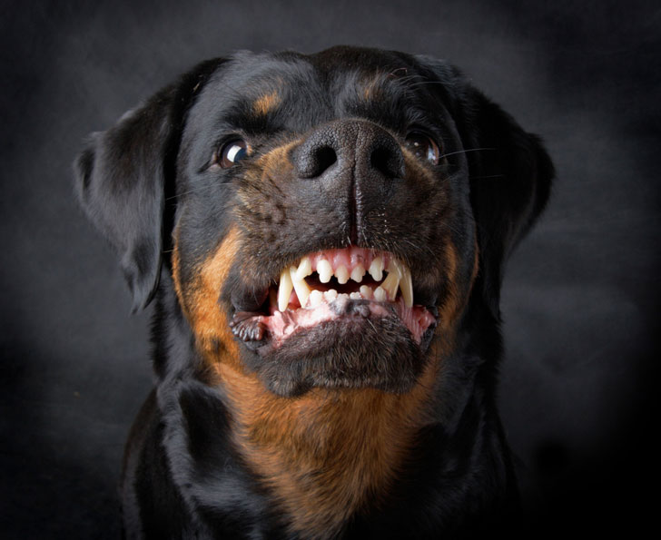 10-popular-but-dangerous-dog-breeds_9