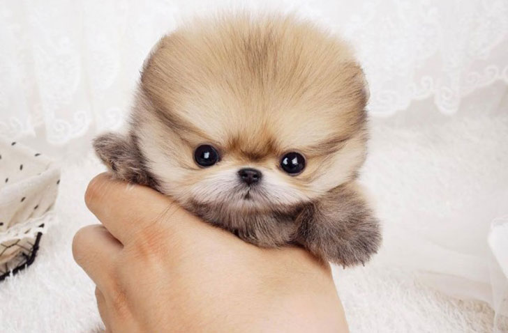 13-of-the-worlds-smallest-dog-breeds-that-are-bound-to-steal-your-heart_14