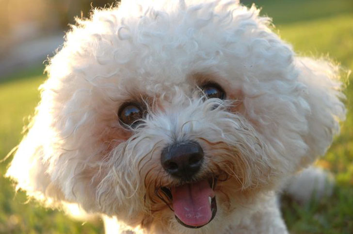 15-best-dog-breeds-for-seniors_12