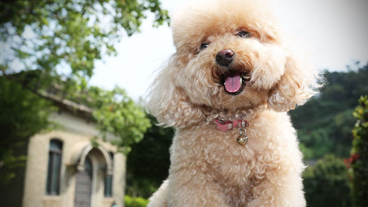 15-best-dog-breeds-for-seniors_7