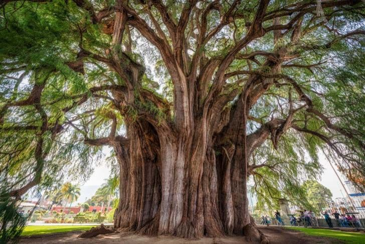26-of-the-most-magnificent-trees-in-the-world_7