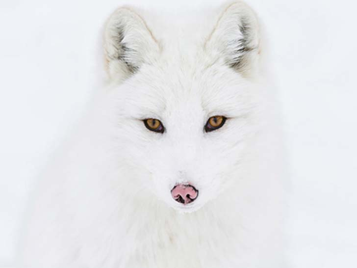 7-of-the-most-beautiful-fox-species-in-the-world_1