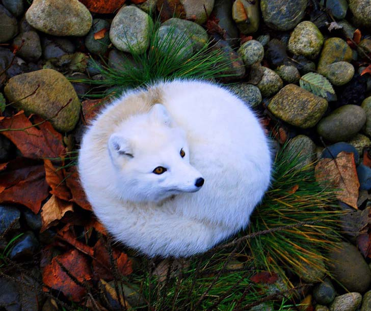 7-of-the-most-beautiful-fox-species-in-the-world_10
