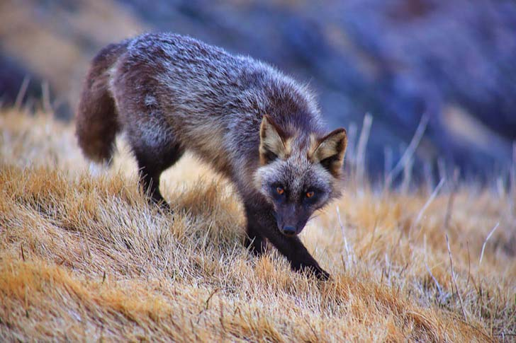 7-of-the-most-beautiful-fox-species-in-the-world_12