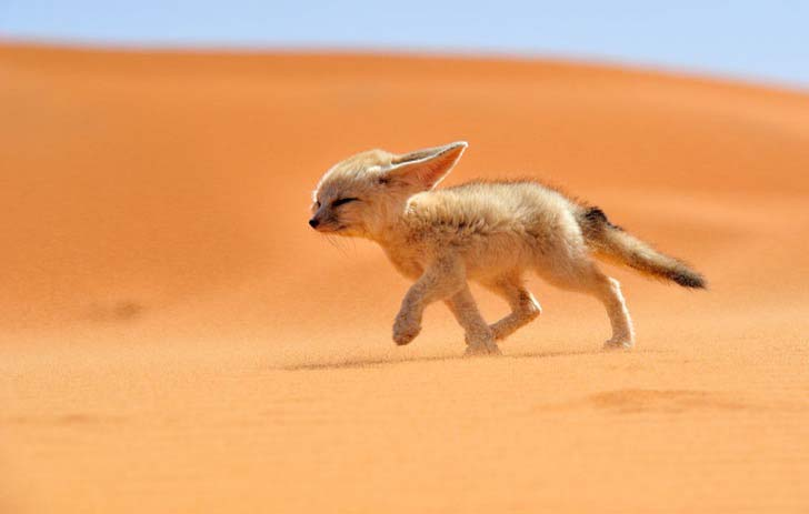 7-of-the-most-beautiful-fox-species-in-the-world_2