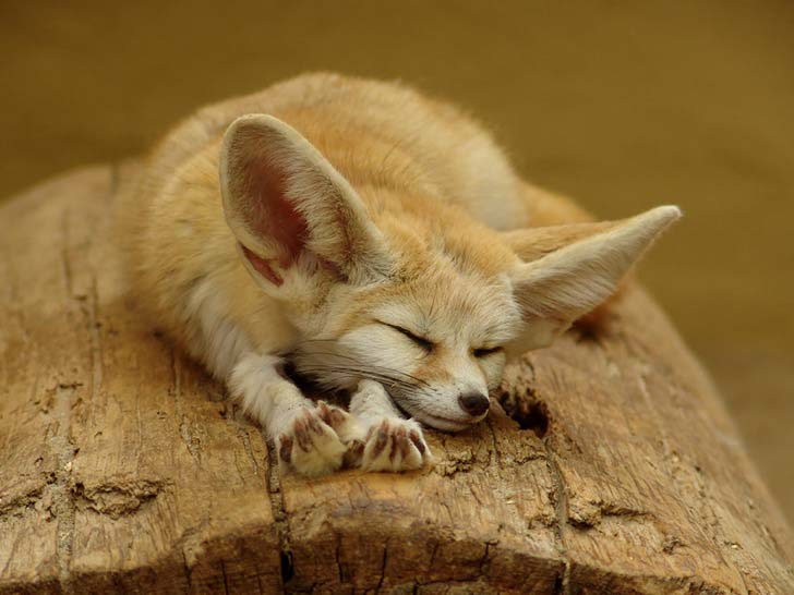 7-of-the-most-beautiful-fox-species-in-the-world_3