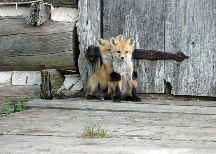 7-of-the-most-beautiful-fox-species-in-the-world_5