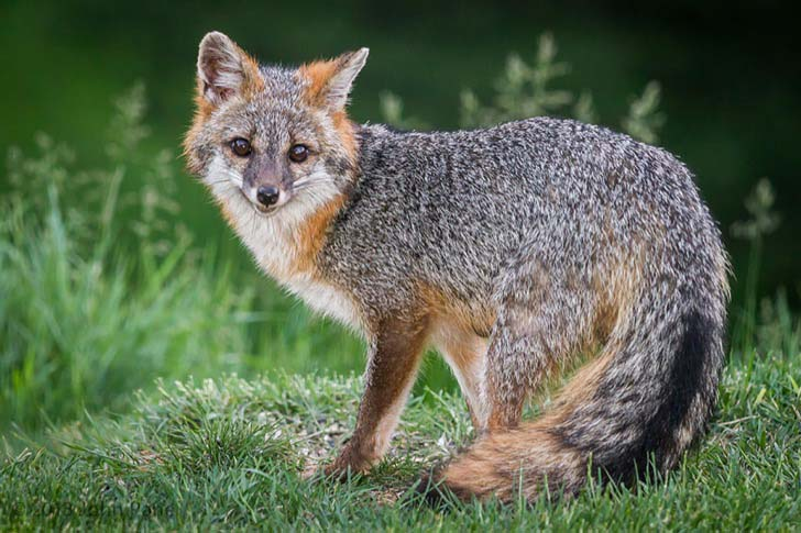 7-of-the-most-beautiful-fox-species-in-the-world_9