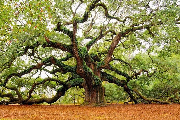 8-most-beautiful-and-famous-trees-on-the-planet-that-you-need-to-see_2