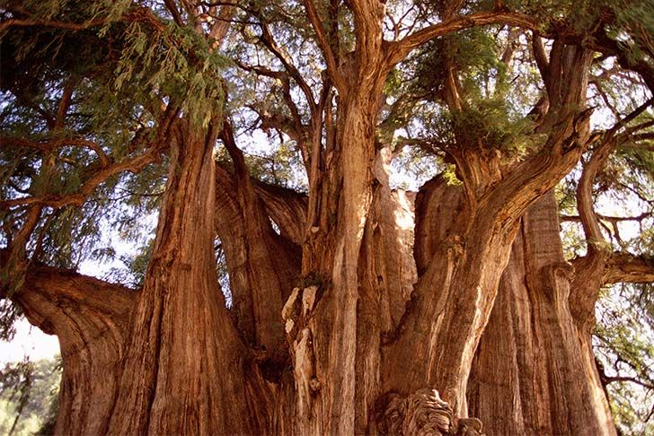 8-most-beautiful-and-famous-trees-on-the-planet-that-you-need-to-see_6