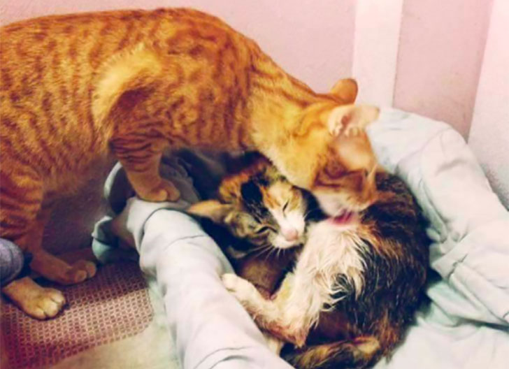 papa-cats-behaviour-shocked-everyone-on-the-internet-when-mama-cat-gave-birth-to-kittens_5
