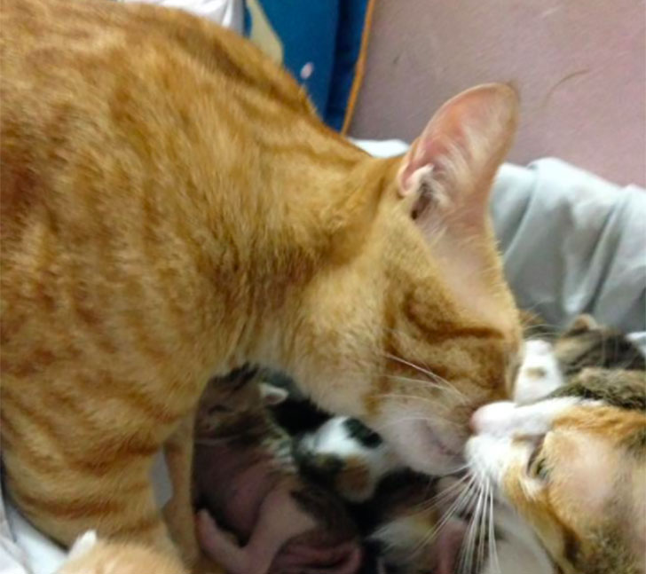 papa-cats-behaviour-shocked-everyone-on-the-internet-when-mama-cat-gave-birth-to-kittens_6