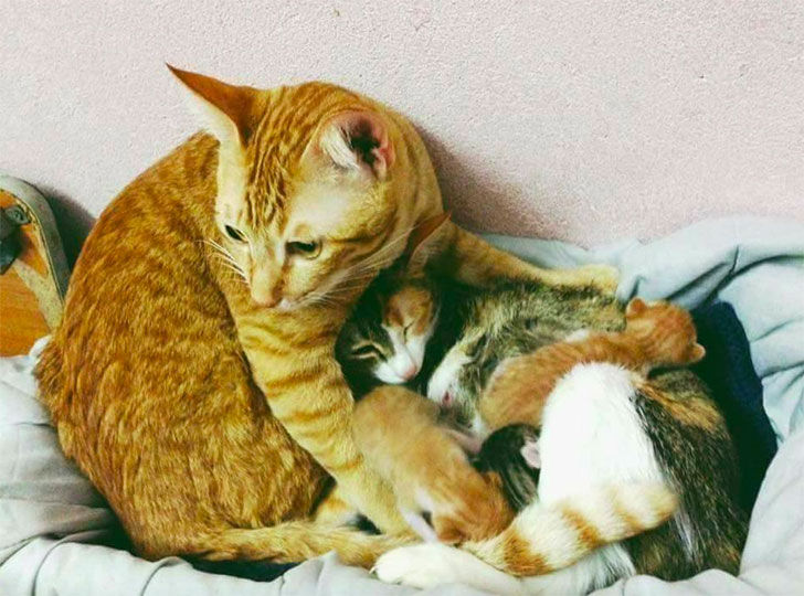 papa-cats-behaviour-shocked-everyone-on-the-internet-when-mama-cat-gave-birth-to-kittens_7
