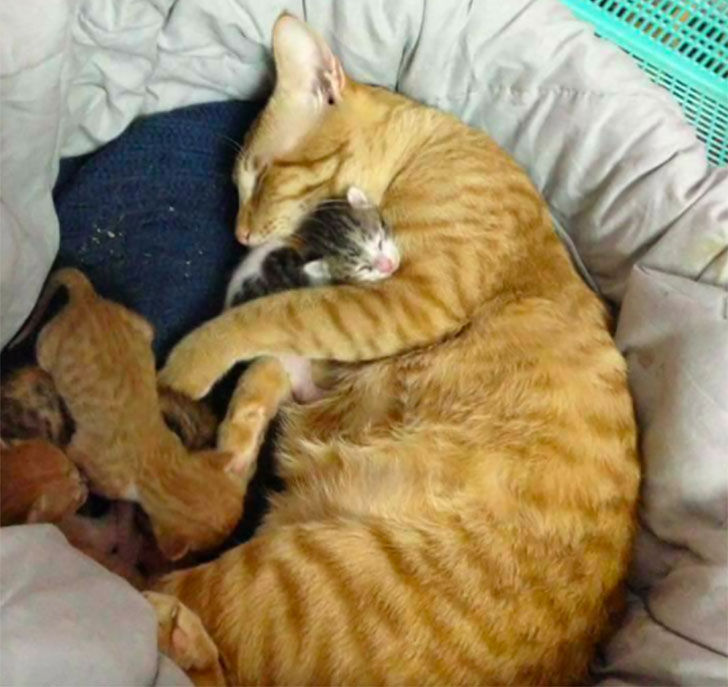 papa-cats-behaviour-shocked-everyone-on-the-internet-when-mama-cat-gave-birth-to-kittens_8