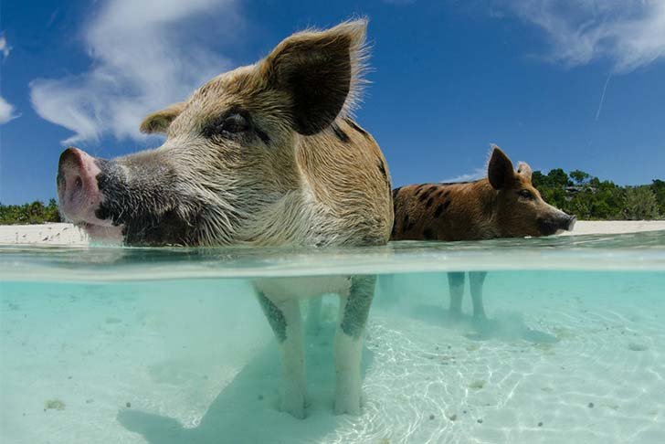 pig-island-swim-with-these-babes_1