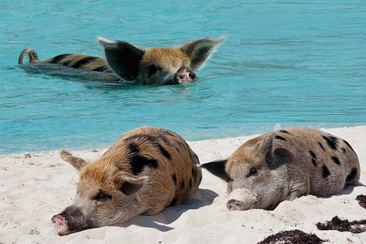 pig-island-swim-with-these-babes_2