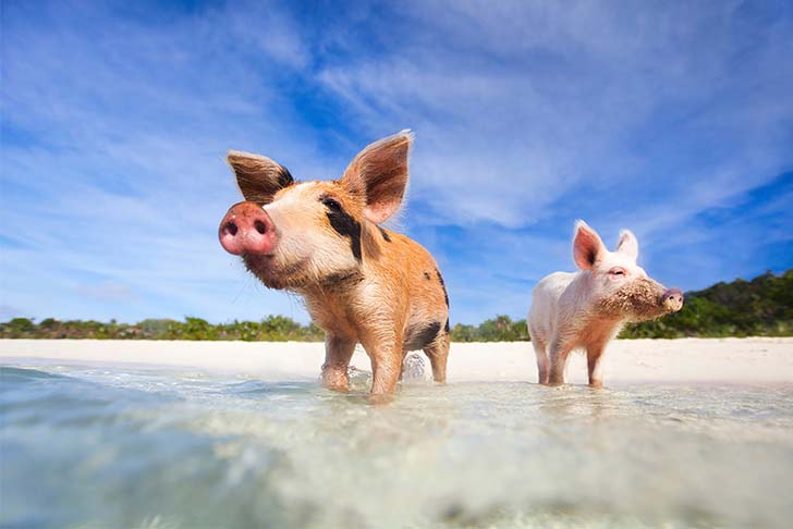 pig-island-swim-with-these-babes_4