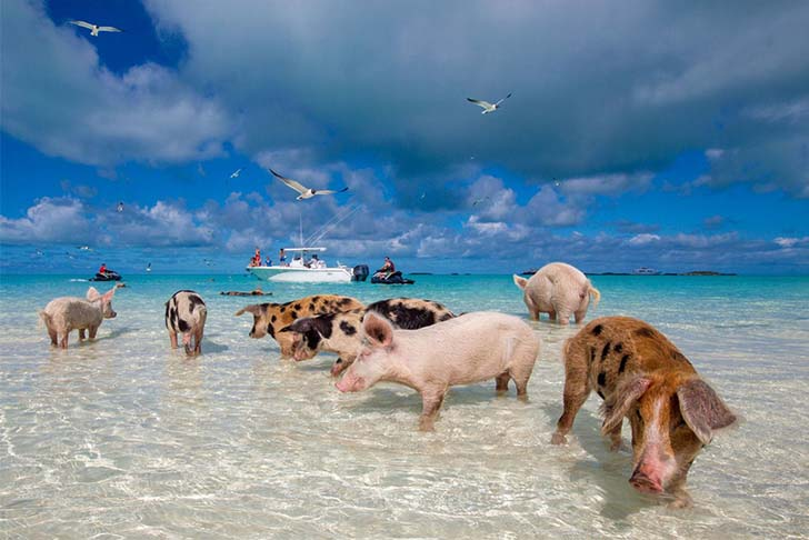 pig-island-swim-with-these-babes_5