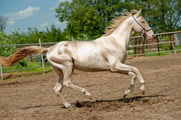 these-25-rare-and-beautiful-horses-are-like-nothing-you-have-ever-seen_5