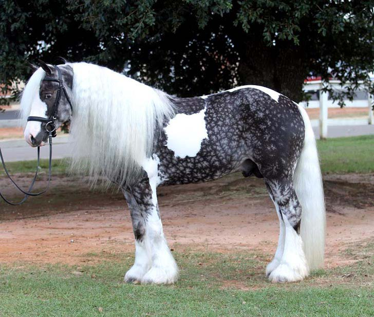 these-25-rare-and-beautiful-horses-are-like-nothing-you-have-ever-seen_8
