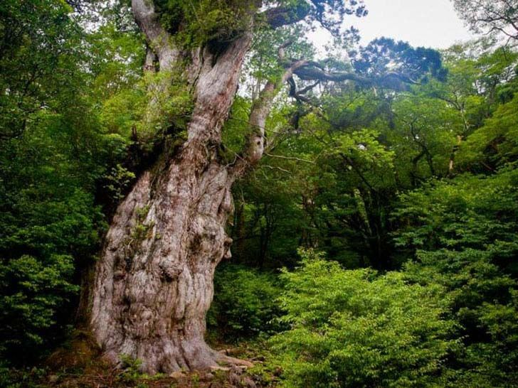 top-8-unbelievable-oldest-trees-in-the-world_5