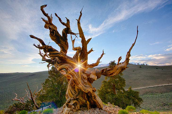 top-8-unbelievable-oldest-trees-in-the-world_6