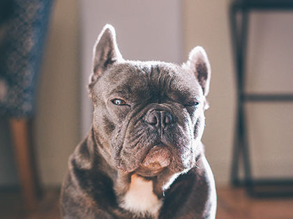 10 Popular But Dangerous Dog Breeds