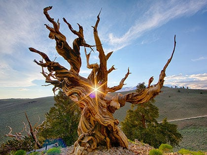 Top 8 Unbelievable Oldest Trees In The World