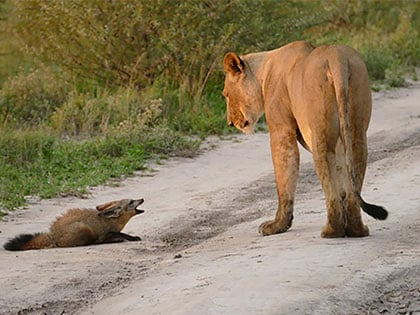 You Won't Believe What Happened To The Injured Fox After He Was Caught By A Lion Family